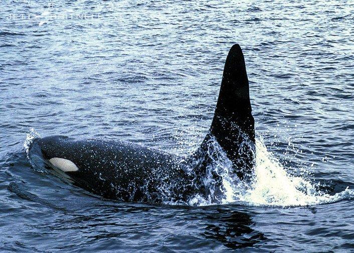 Orca - Jett Britnell